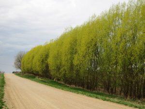 Austree Hybrid Willow