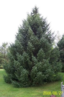 Long Needle Christmas Tree