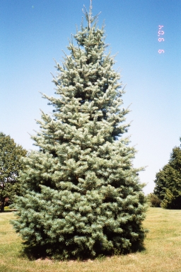 Concolor Fir Kelly Tree Farm