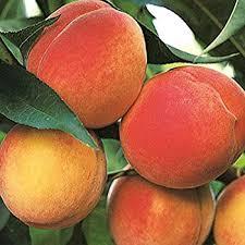 Contender Peach – Kelly Tree Farm